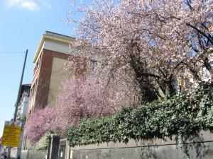 ミラノの梅